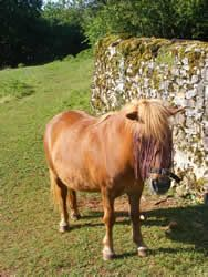 Bitsy (10hh)  I'm the resident lawn mower, companion and Houdini. Yes Tanya I really did jump that wall to escape. I did have a laugh watching you go round and round the field trying to find a gap where I could have escaped from. Ha ha ha!! By the way, I am not talking about the wall in this picture - it wasn't quite this big http://chateau-de-laumiere.com/french-riding-holidays.php