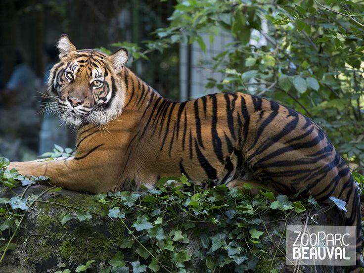 #Tigre de Sumatra - ZooParc de Beauval