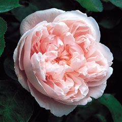 Kathryn Morley Climbing : another David Austin with light tea rose fragrance