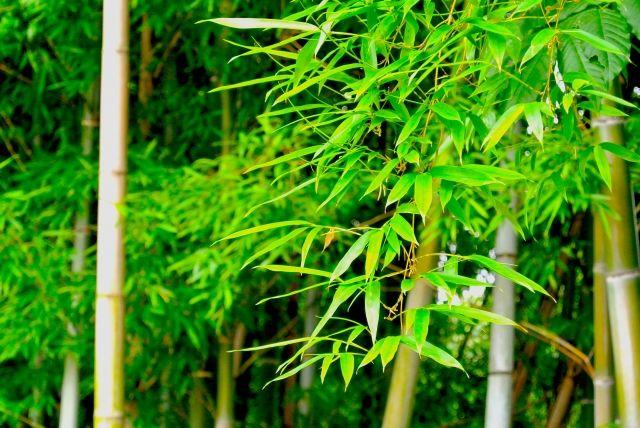 七夕に飾る本物の笹(生花)を、できるだけ新鮮な状態のまま長持ちさせるための、保存方法についてまとめています。いつも七夕当日を迎える前に、笹の葉が茶色くなったり、クルリと丸まってしまっている人は必見です。