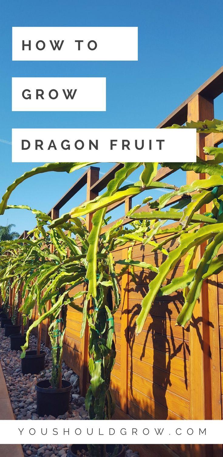 Organic vegetable gardening: how to grow dragon fruit