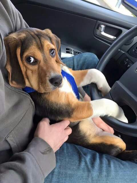 584 Best Images About Beagle Puppies On Pinterest Beagle