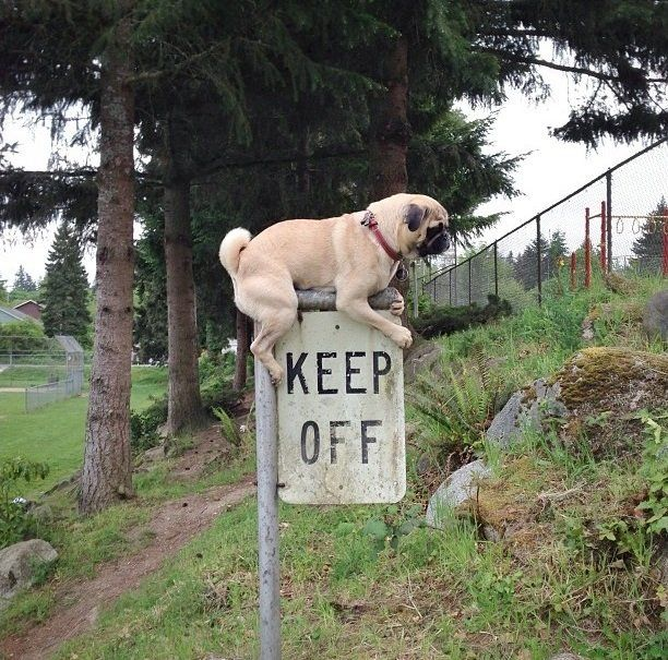 This pug gets it