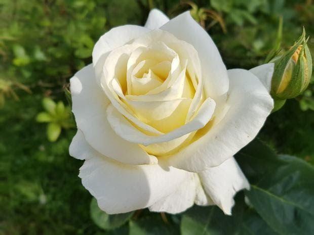25 Bunga Mawar Putih Asli Gambar Bunga Mawar Serta Jenis Jenisnya Lengkap Digiyan Com Download Gambar Mawar Putih Alam Menanam Ke White Roses Rose Flowers