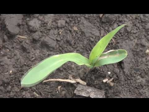 Wheat Seed Treatment (From Ag PhD #594 8/23/09) - YouTube
