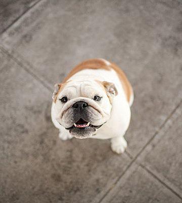 English Bulldog  WorldofBulldog