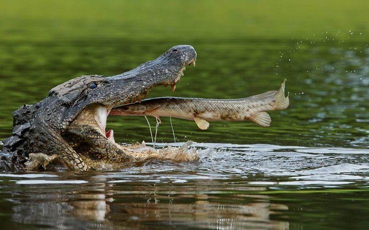 See You Later Said the Alligator: Amazing, Photos, Animals, Nature, Perfect Timing, Fish, Crocodile, Alligators, Fast Food