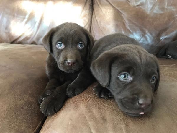 KC Registered Black & Brown Labrador Puppies For Sale in Ashford, Kent | Preloved