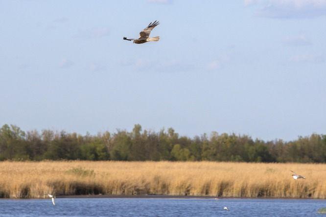 A Kis-Balaton egyik jellemző ragadozó madara a barna rétihéja