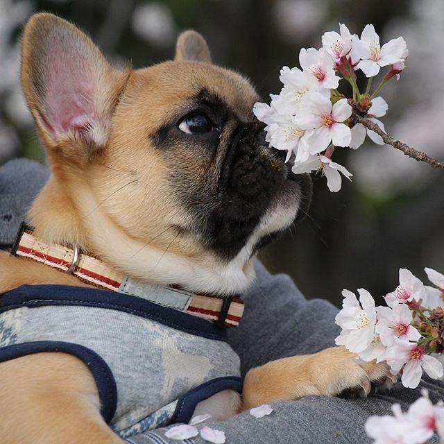 Kota, the French Bulldog Puppy, こたつ日記♬ これ食べれる? #kota #bulldog.