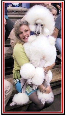 standard poodles afterglow - Google Search