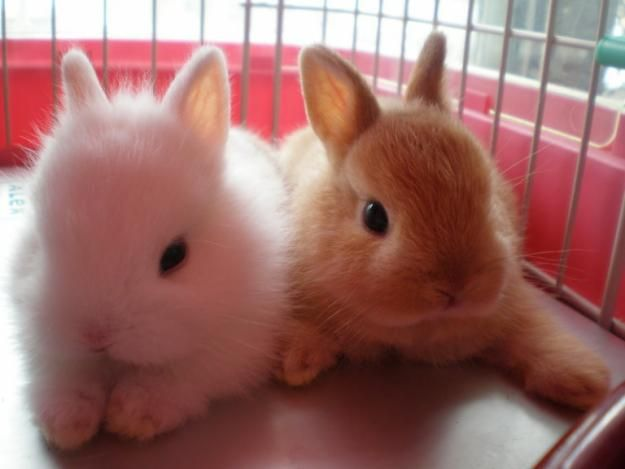 Netherland Dwarf Babies :: (L) Blue eye white :: (R) Orange coat