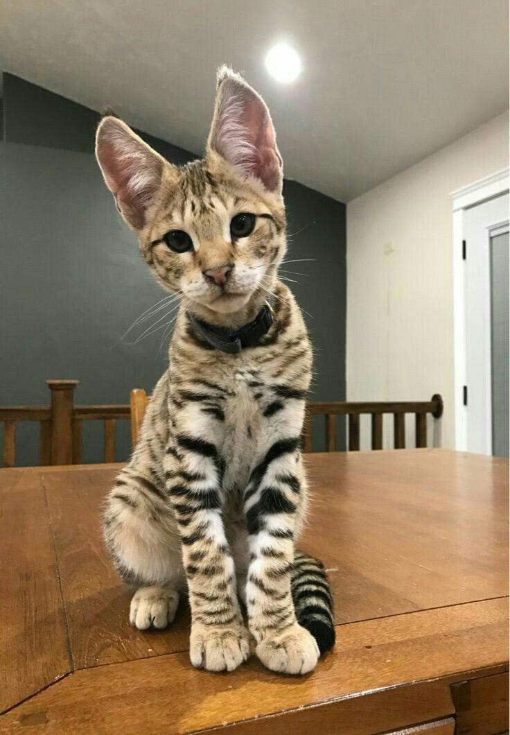 Pin By Tiffany Shurbet On Kitties Exotic Cats Exotic Cat