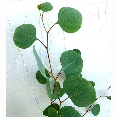 植物 ユーカリ ポポラス