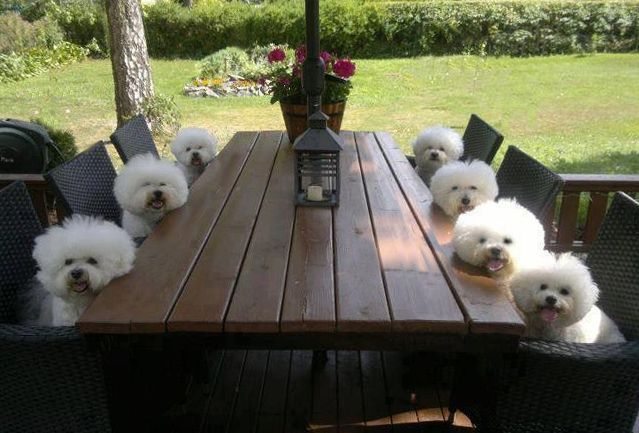 What's for dinner? Nothing cuter than Bichons....little clowns.                                                                                                                                                      More