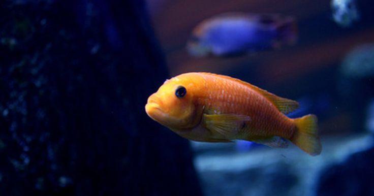 Como cuidar de peixes-papagaios bebês. Os peixes-papagaio fazem parte da família dos ciclídeos. Eles são híbridos de outros espécies de ciclídeos que incluem os midas, os cabeças-vermelhas e os severos. Ao contrário de muitos da mesma família, os papagaios são pacíficos e descontraídos. Porém, como qualquer outro peixe jovem, o filhote de peixe-papagaio exige alguns cuidados ...