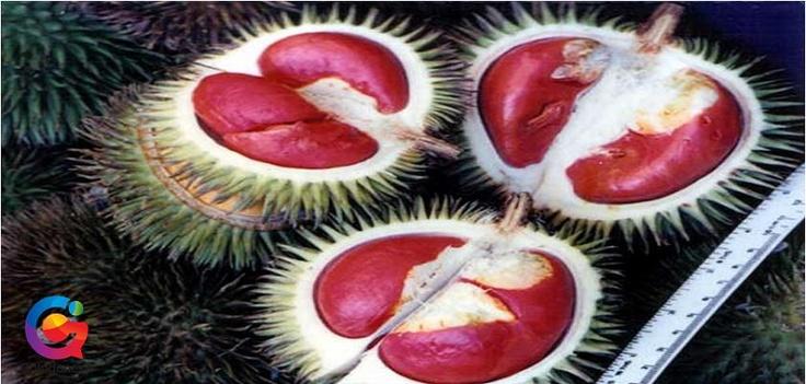 Berbeda dengan warna isi buah durian yang selama ini kita kenal, Durian Merah asal Kalimantan ini warnanya merah. Baunya pun tidak terlalu menyengat, tapi rasanya konon lebih legit. Ini termasuk durian liar yang banyak tumbuh di hutan Kalimantan.