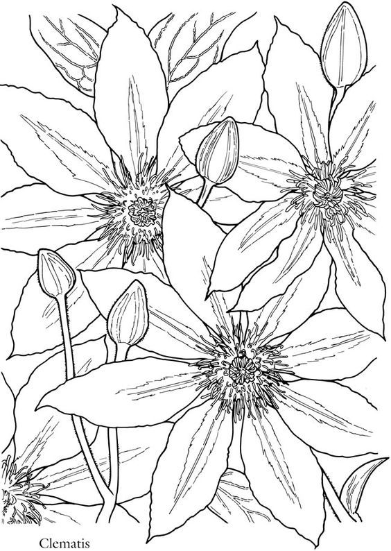 dover publications sample creative haven in full bloom coloring book clematis - Flower Coloring Book
