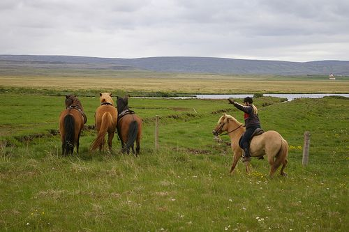 horse herding, Iceland