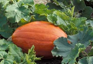 166 best images about giant pumpkins on pinterest for Best pumpkins to grow
