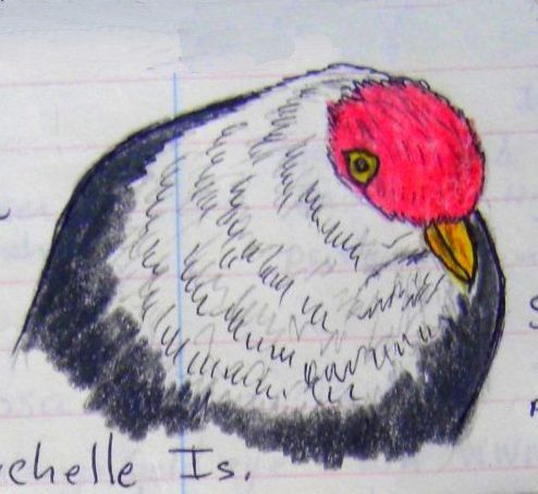 Seychelles Blue Pigeon,   color pencil & ball ponit pen, 1993