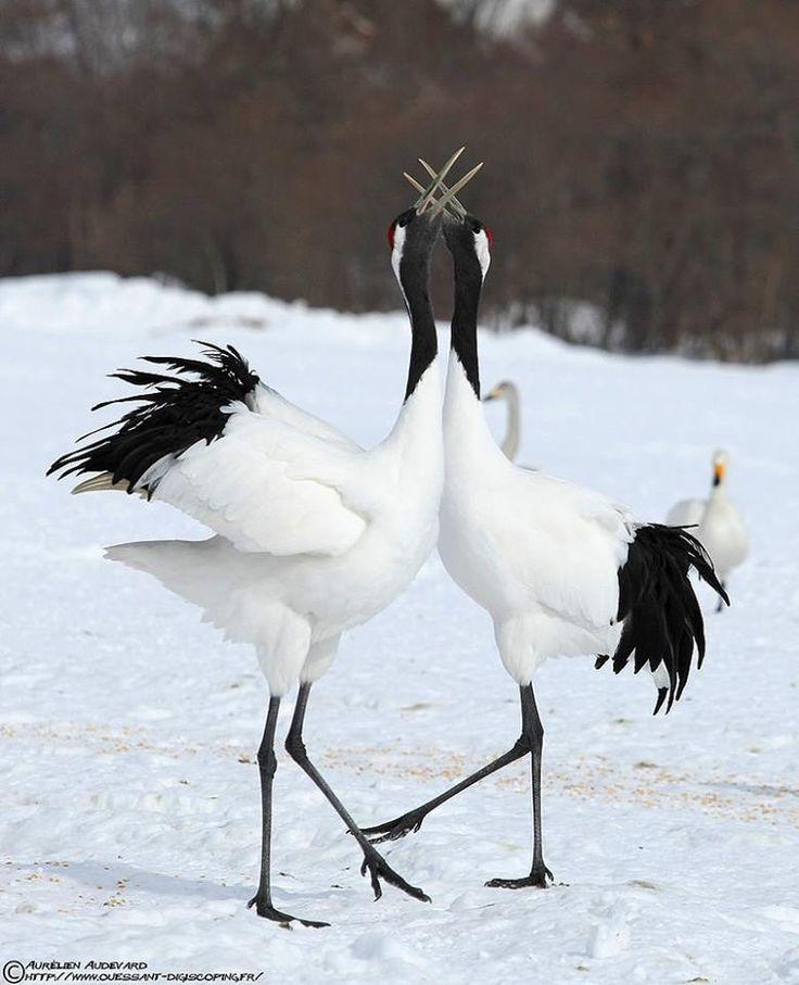 Japanese cranes | Cranes | Pinterest - photo#19