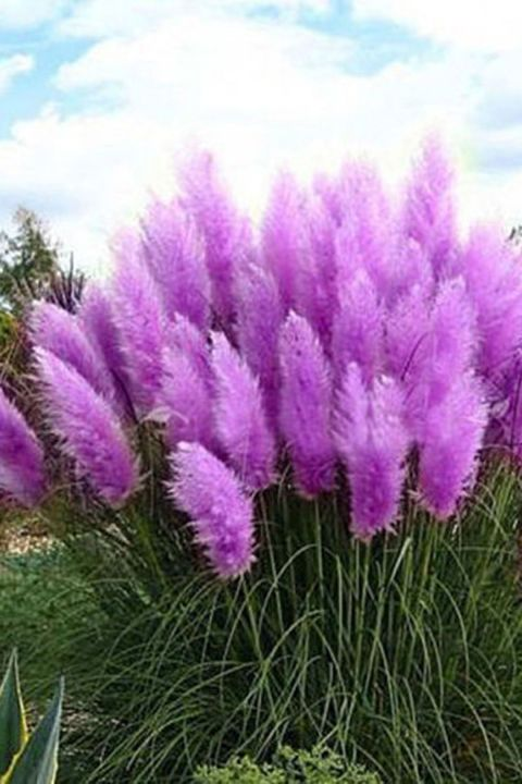 Purple Grass:  If you love color, try something bold in your yard like these pretty purple pampas grass seeds, which bloom in mid-spring and late summer.