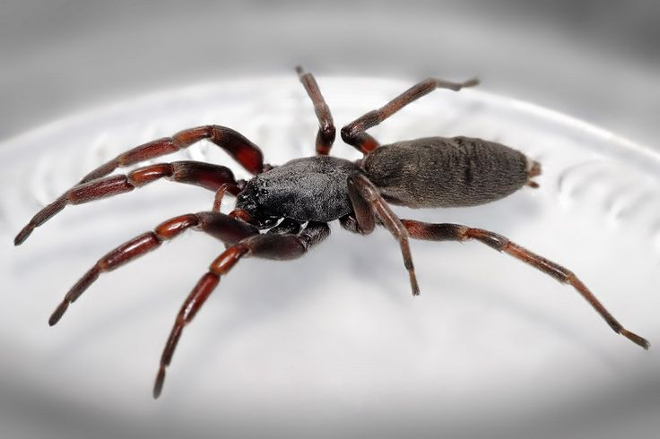 """Science says the venom from a white-tailed spider doesn't cause a """"flesh eating"""" infection https://www.businessinsider.com.au/science-says-the-venom-from-a-white-tailed-spider-doesnt-cause-a-flesh-eating-infection-2017-4?utm_campaign=crowdfire&utm_content=crowdfire&utm_medium=social&utm_source=pinterest"""