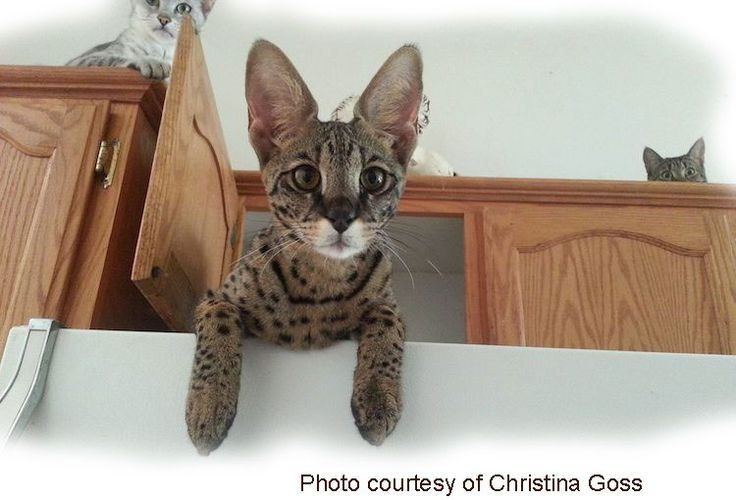 The most trusted Savannah cat website on the Internet. The original home of the founders of the Savannah breed.