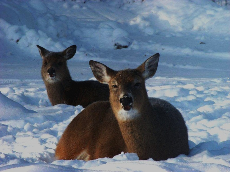 Bedded doe and fawn, Mercer, Wisconsin