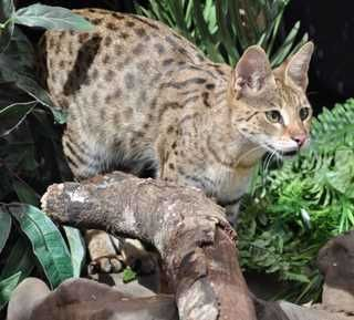 Savannahs Kittens for Sale: F1 F2 Purebred Cats | Top Breeders