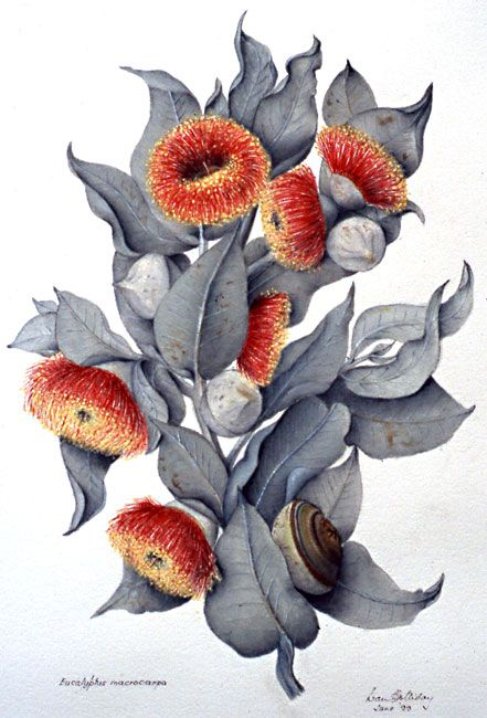 illustration: Eucalyptus macrocarpaMottlecah family MYRTACEAE artist: Ivan Grenfell Holliday (1926 - 2010) Original watercolour painting from 35mm slide taken by the artist