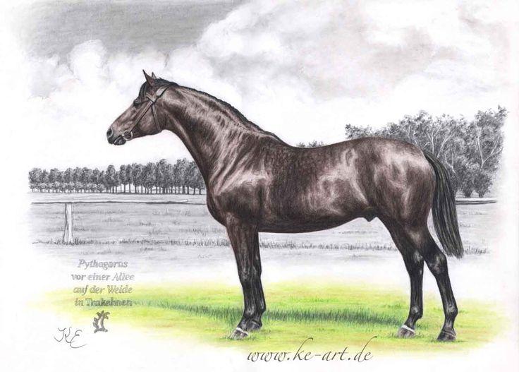 Trakehner stallion Pythagoras - Horsedrawing by Katja Eichhorn