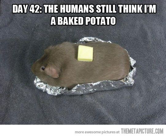 guinea pig funny | 28 January, 2013 in Funny , Pictures | Comment