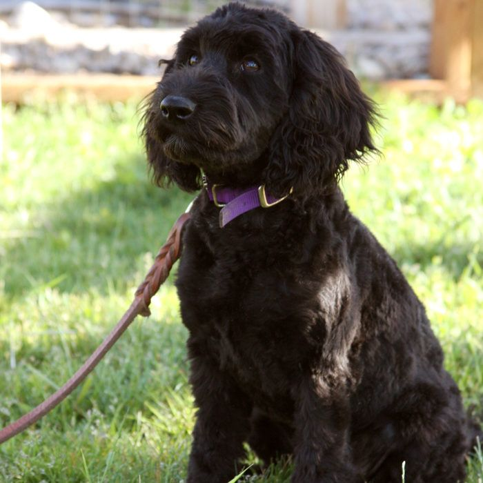 Meet Our Dogs Mini Labradoodle Dogs Teacup Goldendoodle
