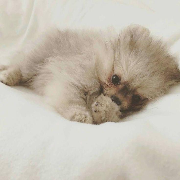 Adorable #Pomeranian