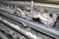 Growing Poultry Farming Industry is Expected to Drive the Growth of Poultry Keeping Machinery Market in Future, According to Research Nester