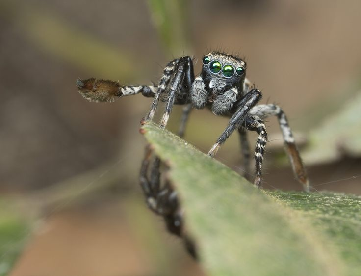 A newly discovered species of spider, <i>Jotus remus</i>, is so named because it sports an enormous paddelike appendage on its third pair of legs. (In Latin, remus means oar or paddle.) The spider likely flashes his paddle in order to woo mates.