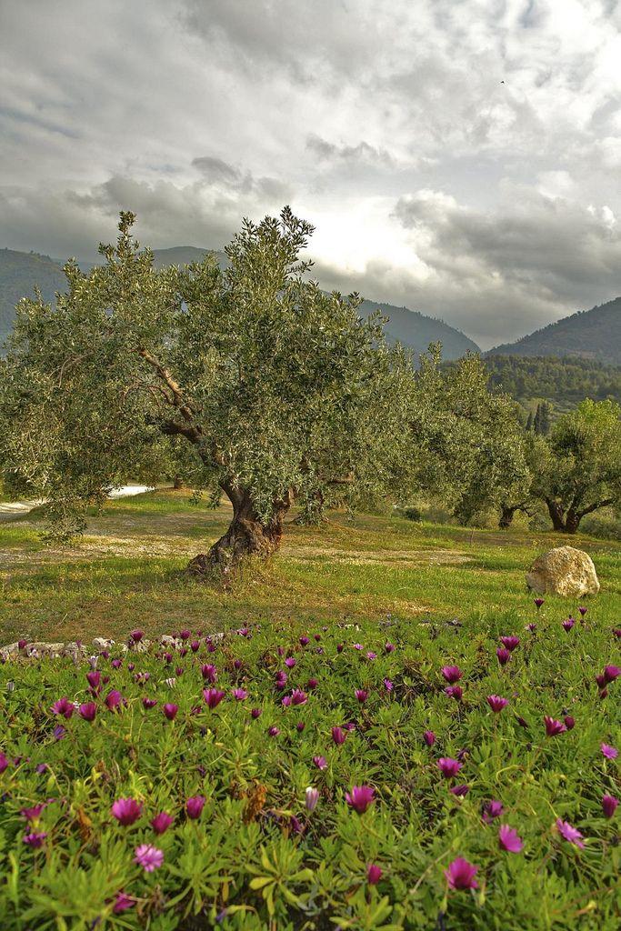 olive tree - olive oil
