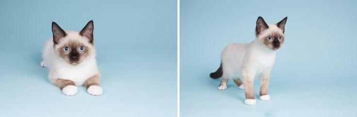 Kattenfotografie Hillegom - Fotoshoot Ragdoll kittens-1