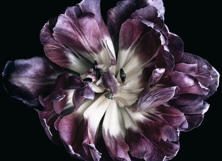 Open double tulip from a bouquet of tulips. The perfect artwork to remember a beautiful bouquet. Floragraphica | Modern bouquet preservation with photography