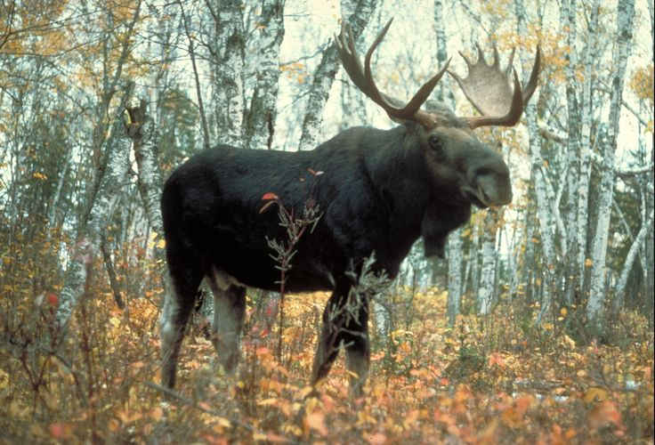 Image result for wild moose