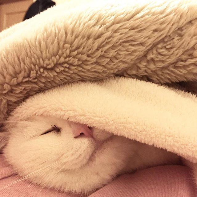 #白猫#猫#猫部#ねこ部#ネコ部#にゃんこ部にゃんこ#愛猫#まっしろねこ#でぶ猫#ぶさかわ#ふてにゃん#ふてねこ#猫好きな人と繋がりたい#ねこすきさんと繋がりたい#ねこすたぐらむ#おばあちゃん猫#きーちゃん#きーちゃんの毎日#寝る猫#ねるねこ#布団ねこ