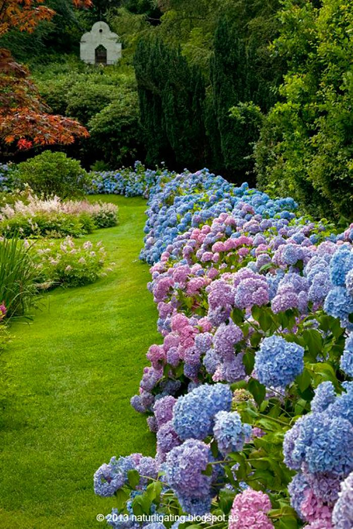 Hydrangea Border Around Garden
