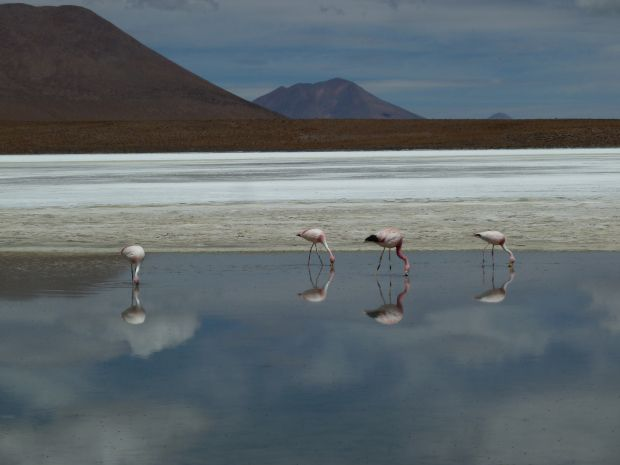 Fenicotteri rosa lagune colorate Bolivia