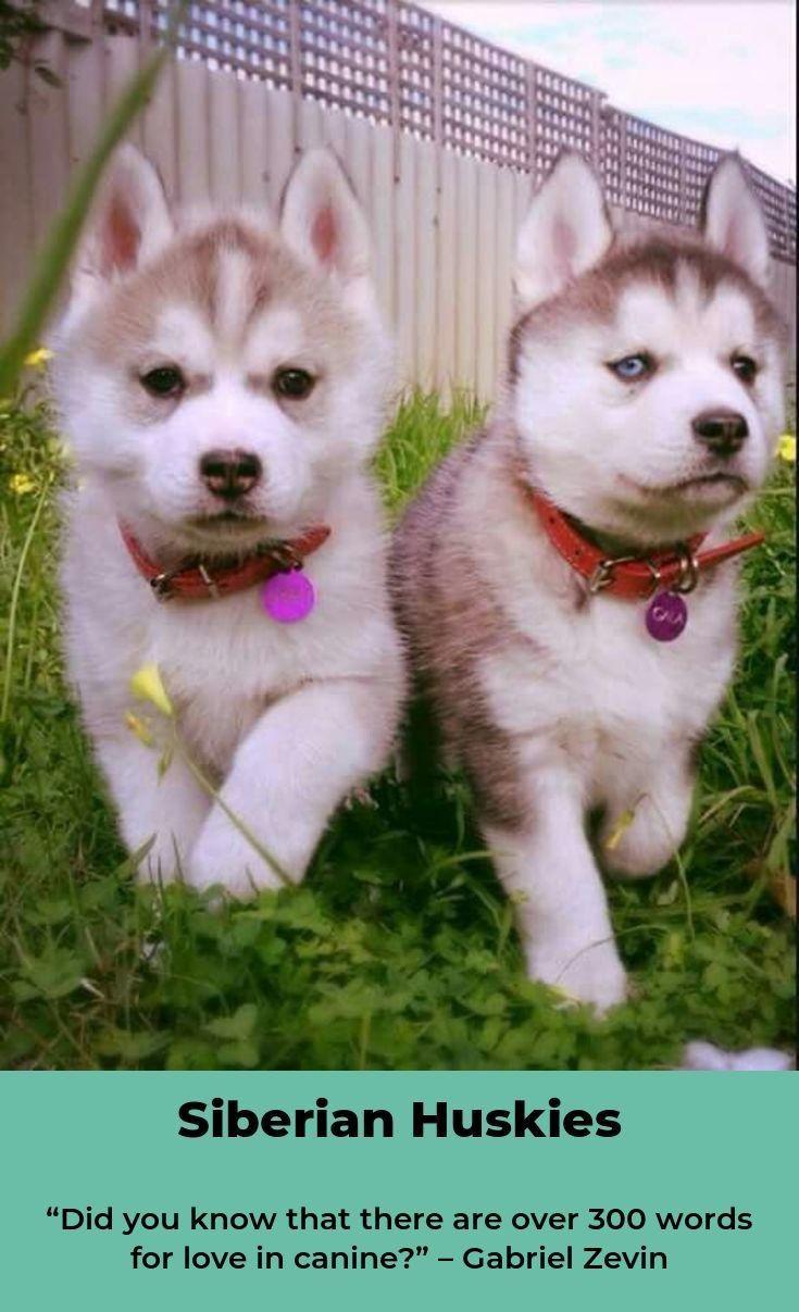 Siberian Husky Dog Siberianhuskyloversjakarta