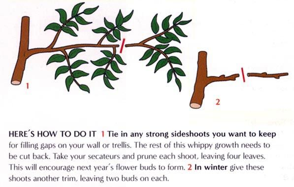 How to prune wisteria | Landscaping | Pinterest | Wisteria