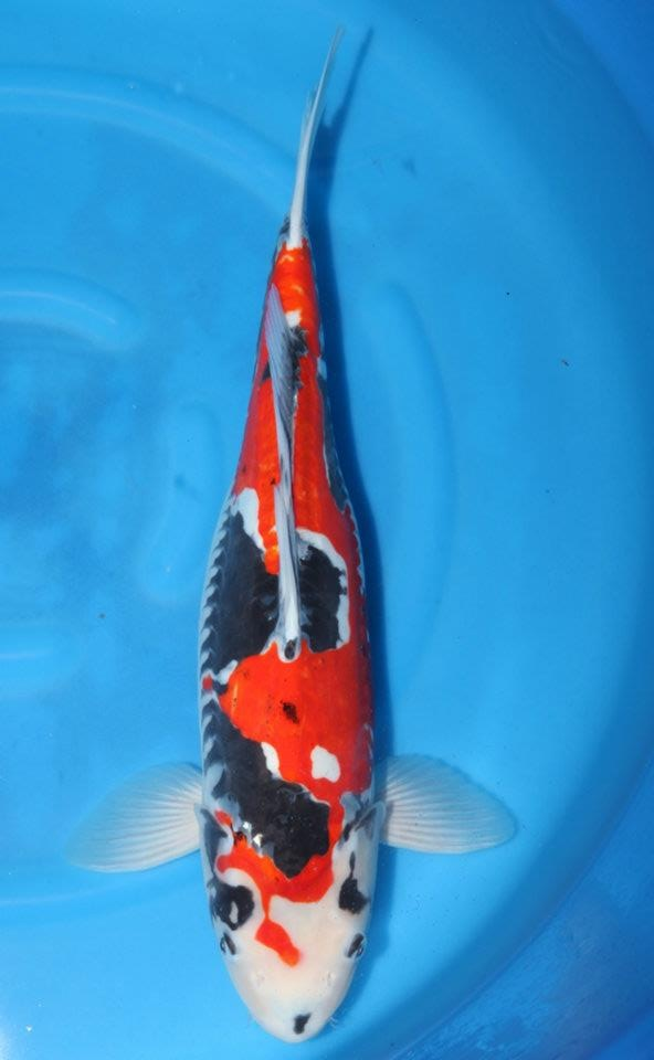 105 best images about koi fish on pinterest photos for Cheap koi carp for sale
