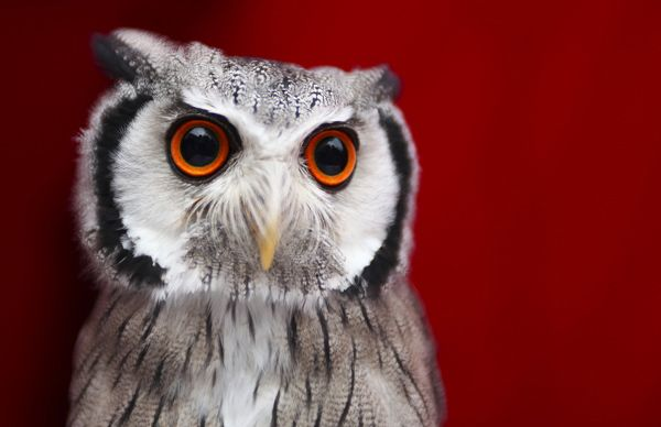 A white-faced owl photographed at the Photokina fair on September 21, 2010 in Cologne, Germany. (Eyes Wide Open/Gettys)