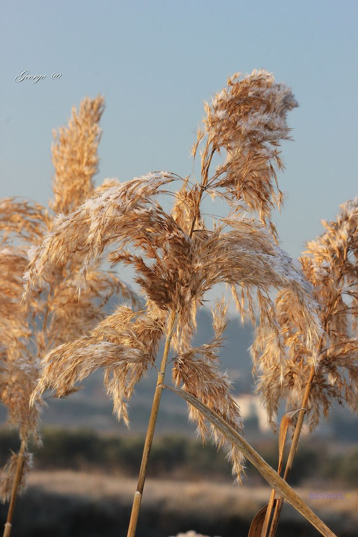 "https://flic.kr/p/NRjteq | The song of the Reeds on a cold frosty morning (Arundo donax) | The song of the Reeds on a cold frosty morning (Arundo donax) Sometimes the beauty is in simplicity  Reeds covered with frost ""Winter Colours"""